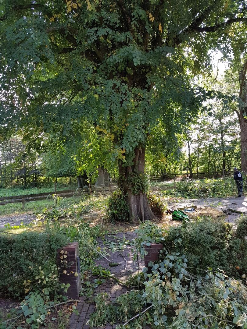 Baumpflege Linde Pastorat